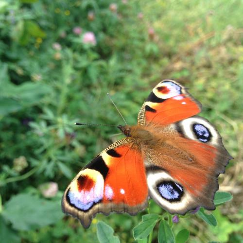 Peacock Butterfly foraging on lucerne