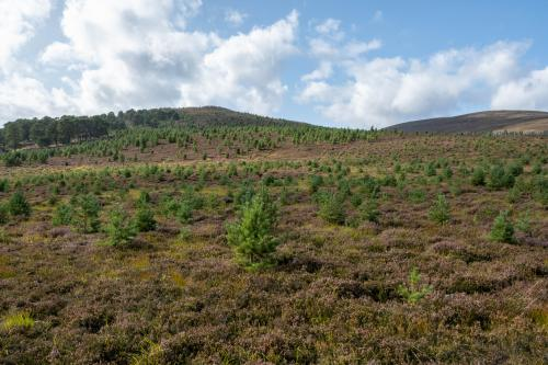 Pine wood expansion on heather moorland. Photo credit Scot Ramsey