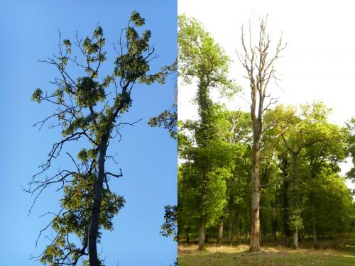 Ash tree dying from ash dieback and dead oak tree